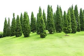 buy pine trees 12 99 get free shipping