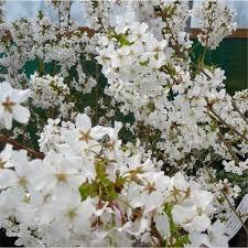 flowering cherry trees for small gardens cherry blossom