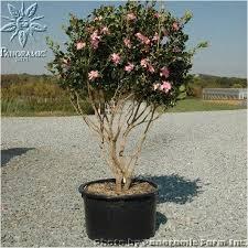 camellia sasanqua cleopatra cleopatra sasanqua camellia 15