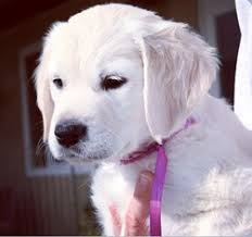 puppies for sale view ad golden retriever puppy for sale alabama troy usa