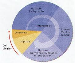 cell division notes biology junction