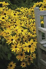 rudbeckia indian summer gloriosa daisy sun tall plants and summer