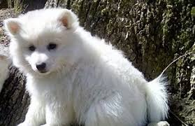 american eskimo dog toy for sale view ad american eskimo dog puppy for sale tennessee oak ridge usa