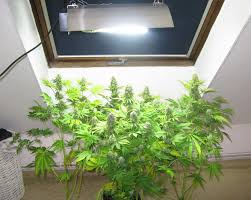 cfl lights for growing weed which light to grow cannabis all about cannabis