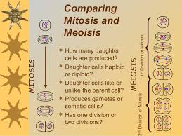 How Many Chromosomes Does A Somatic Cell Have Mitosis And Meiosis
