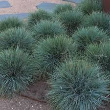 festuca glauca blue fescue elijah blue is a hardy grass with