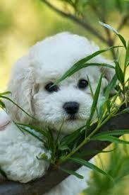 d douglas bichons frise facts about teddy bear dogs teddy bear dogs bichon frise and