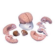 The Anatomy Of The Human Brain Anatomical Teaching Models Plastic Human Brain Models 8 Part