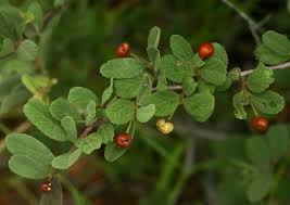 bog myrtle native flavours red unusual and exotic fruit and nut plant seeds from around the world
