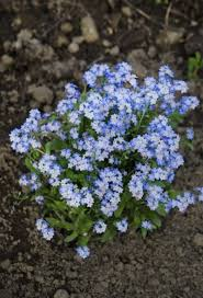 forget me not seed packets when to plant forget me nots tips on planting forget me nots