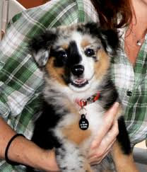 australian shepherd double coat australian shepherd dogs australian shepherd dog breed info