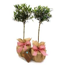 christmas plant gifts pair mini stemmed olive trees by giftaplant