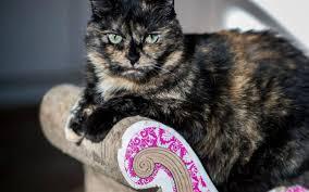 uc davis study calico tortoiseshell female cats