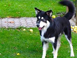 husky x australian shepherd for sale the border collie husky mix is this smart active dog right for