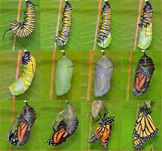 how far can butterflies fly wonderopolis