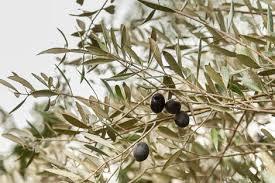 Zone Gardening - growing olives in zone 7 organic gardening blog