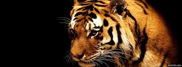 tiger photo cover