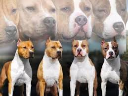 american pitbull terrier akc celtic amstaffs american staffordshire terrier puppies for sale