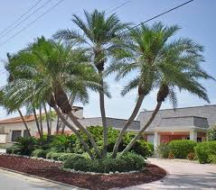 the charms of palms the best palm trees to grow in our gardens in