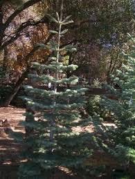 i the silver tip tree i