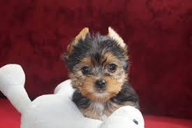 Plz Bad Segeberg Süße Yorkshire Terrier Mit Ahnentafel Bad Segeberg