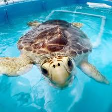 vi sea turtle project home facebook