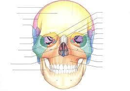 Human Anatomy Skull Bones Anatomical Diagram Of Human Skull Bones Human Anatomy Charts