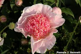 Peonies Season I Love Peonies And Time For Post Bloom Followup Bygl