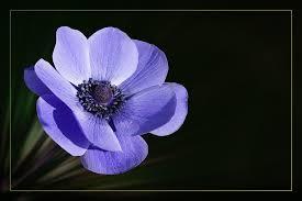 free illustration anemone crown anemone blossom free image on