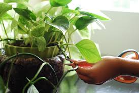 pretty indoor plants cut philodendron with the vine is ready to re