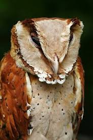 What Does A Barn Owl Look Like Pin By Chris Capista On Birds Pinterest Owl Bird And Animal
