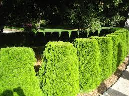 tips for planting hedges using shrubs for hedges