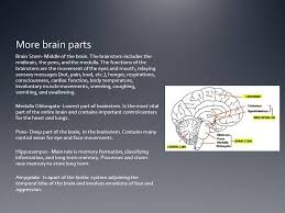 Role Of Brain Stem The Human Brain Part 1 Vocabulary Neuron A Cell That Is The