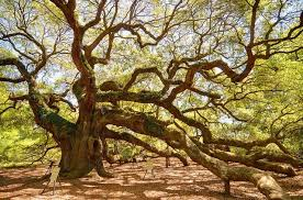 1 500 year oak a truly ancient and majestic tree