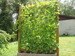 Make Your Own Cucumber Trellis Growing Watermelon Cucumber And Melons Vertically Permaculture