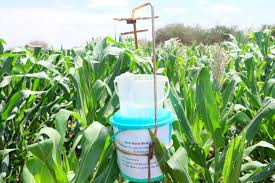 drought tolerant pest resistant maize variety promises higher
