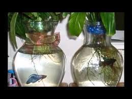 Beta Fish In Vase 5 Best Aquarium Plants For Betta Fish Youtube
