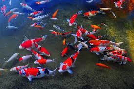 colorful japanese koi fish dafrak pets line