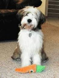 hair cuts for the tebelan terrier the cutest tibetan terrier tibetan terrier terrier and dog