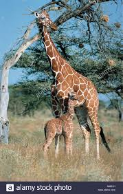 giraffe baby stock photos u0026 giraffe baby stock images alamy