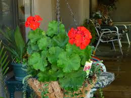 red geraniums made 7 in my ten heat resistant plants for