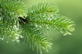 tree services cleaning up pine needles reliable tree care utah