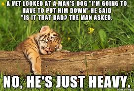Tiger Meme - terrible tiger cub meme on imgur