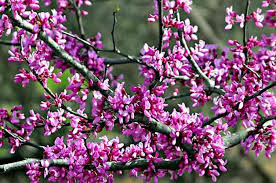 Tree With Purple Flowers Flowering Trees Tree Growing Birds U0026 Blooms