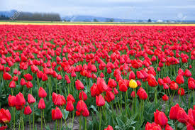 Tulip Field One Yellow Tulip In Red Tulip Field Stock Photo Picture And