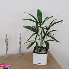 trachycarpus fortunie palm tree indoor or outdoor in lechuza self
