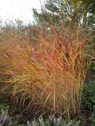 dividing ornamental grasses yard care grasses