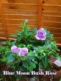 1 fragrant climbing bush rose bare rooted plant shrub red purple