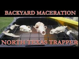 Backyard Skulls Skull Maceration A Simple Backyard Setup Youtube