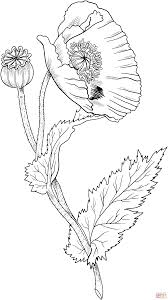 opium opium poppy coloring page free printable coloring pages